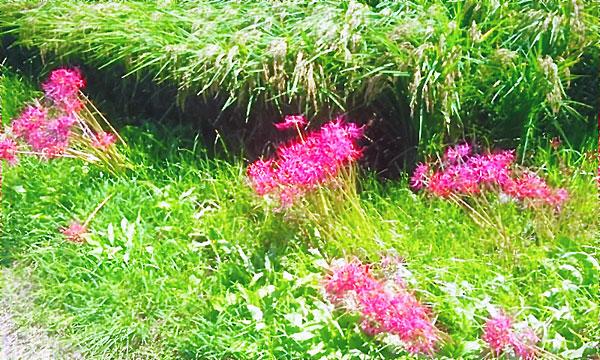 畔と彼岸花